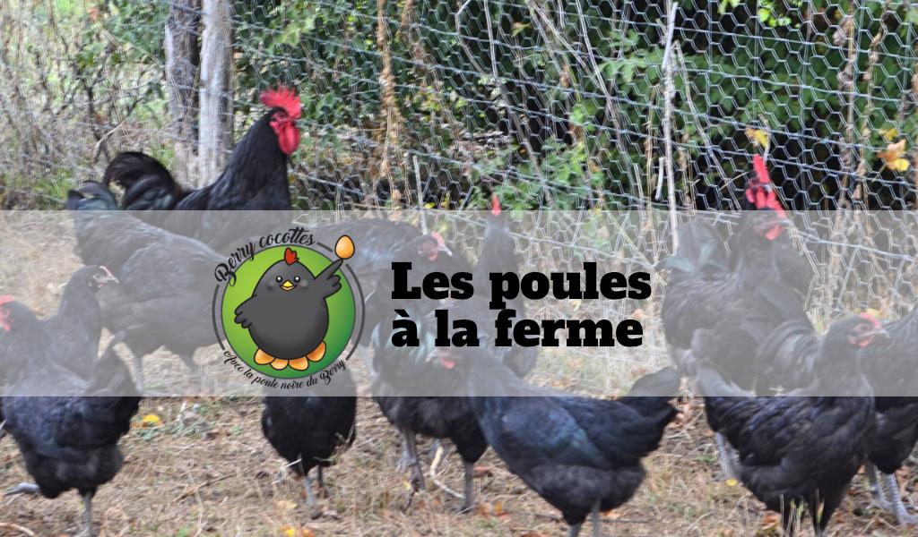 Les poules à la ferme